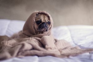 Dog in a blanket after moving