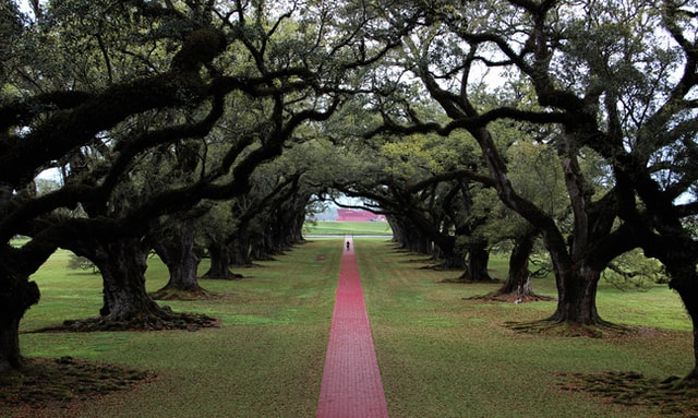 Red path passing through high wide trees.